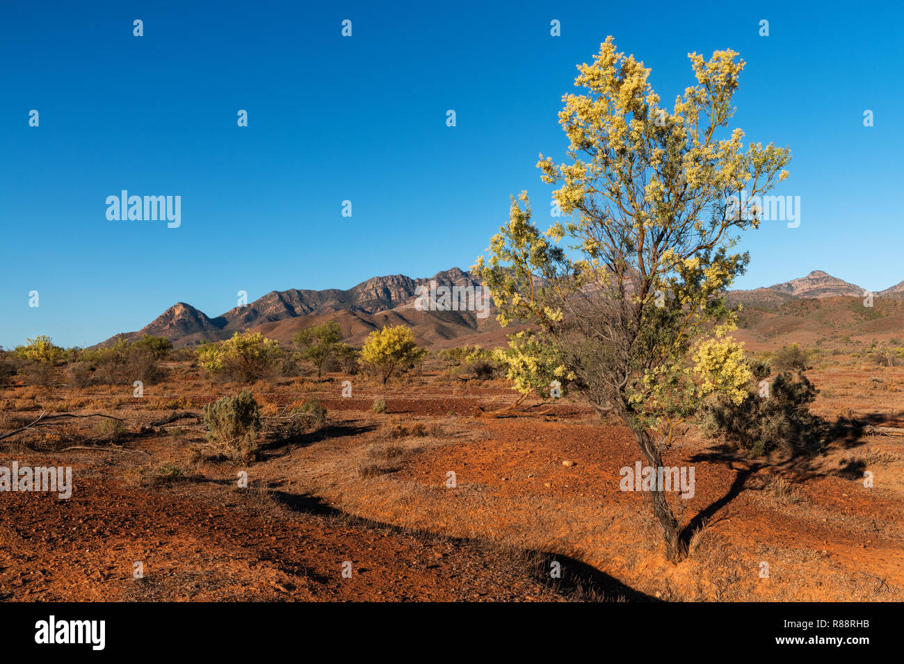 Blooming Wattle Tree in the arid landscapes of the Flinders Ranges. - Stock Image