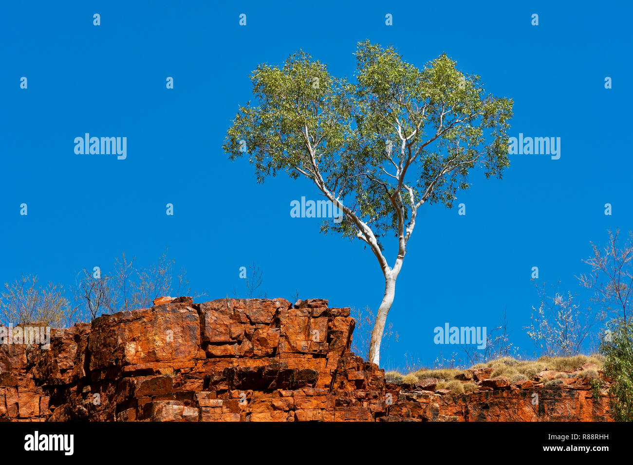 Ghost Gum standing right at the cliff in the magnificent MacDonnell Ranges. - Stock Image