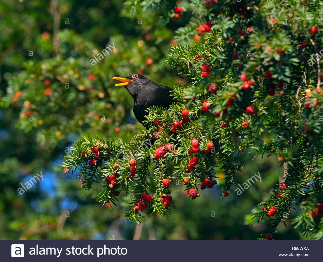 Blackbird Turdus merula male feeding on yew berries in Norfolk church yard - Stock Image
