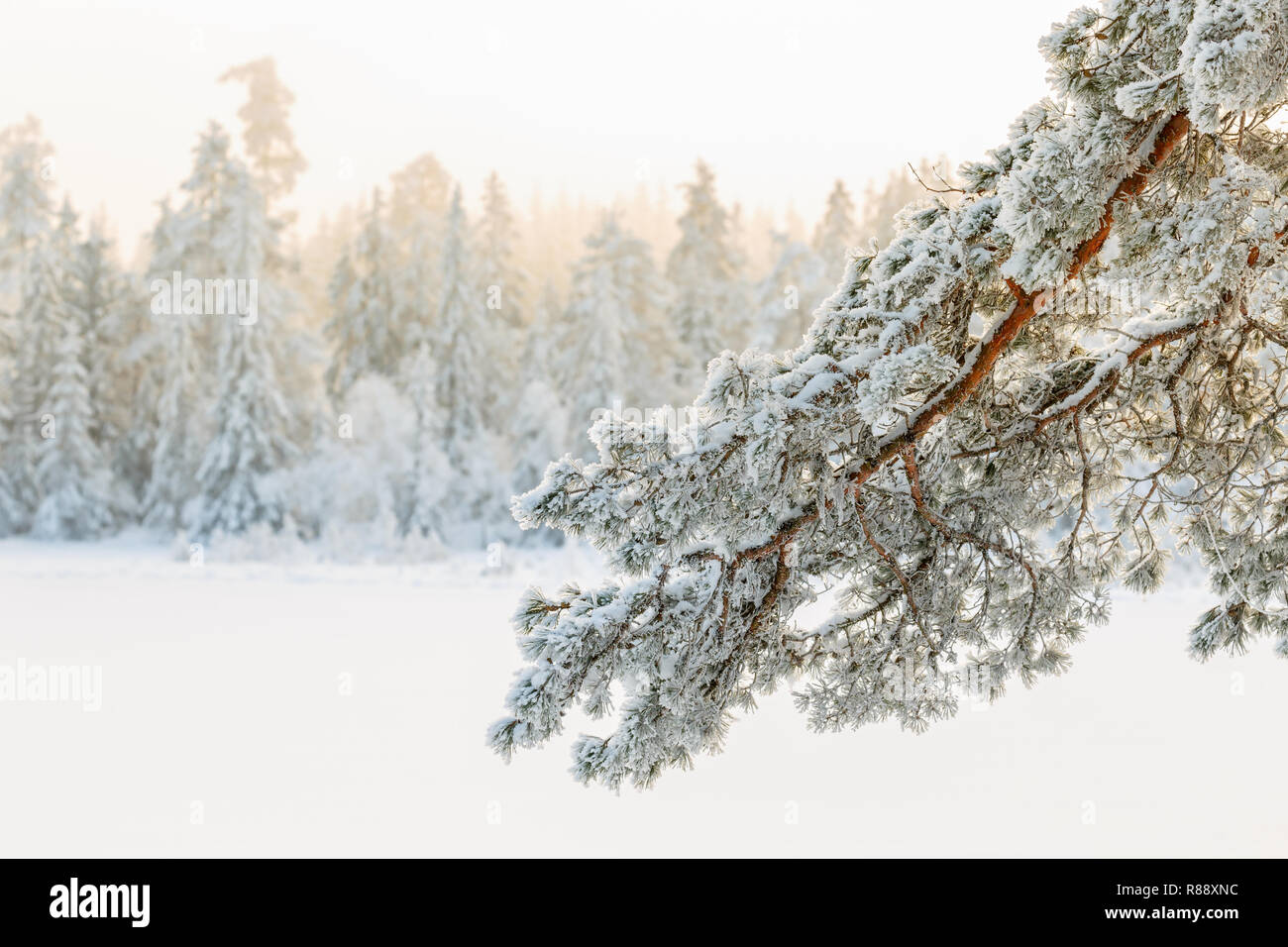 Pine tree branch with frost in a winter landscape - Stock Image