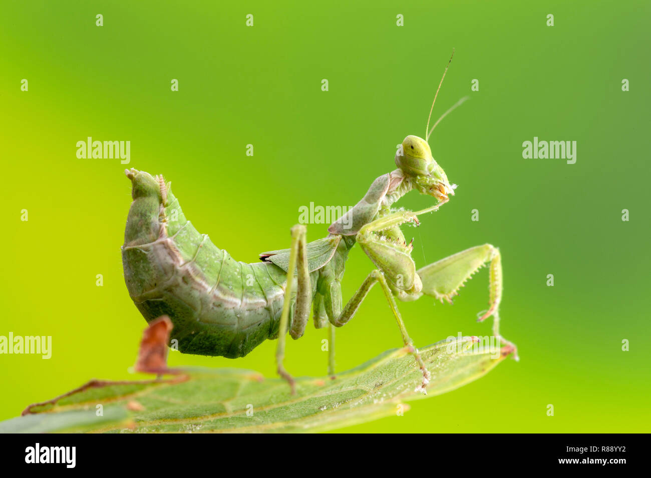 Praying Mantis Baby High Resolution Stock Photography And Images
