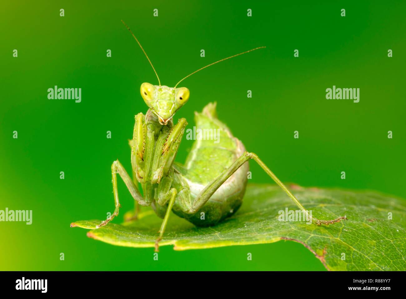 Tiny Wingless praying mantis, adult, life-size magnification - Stock Image