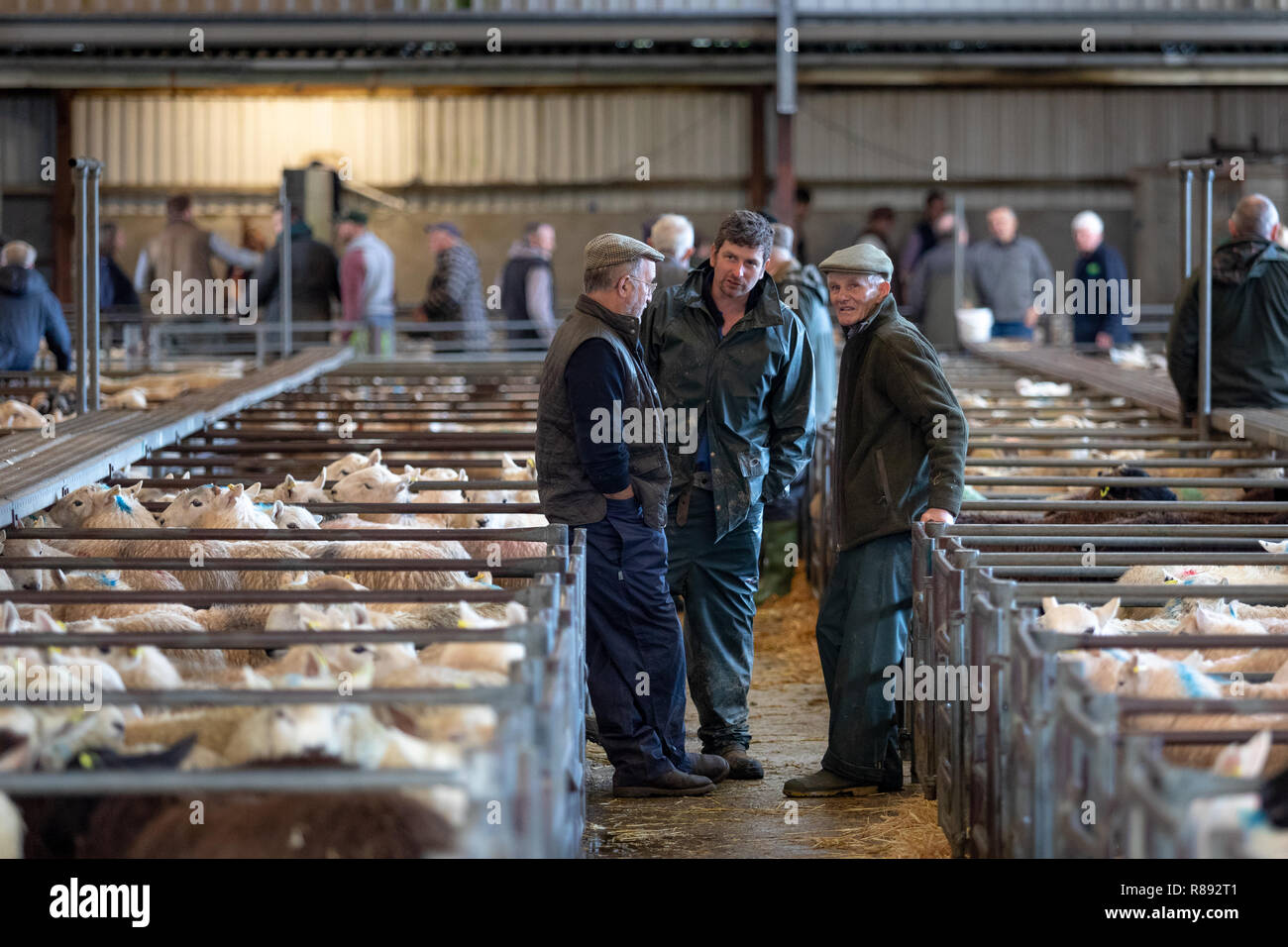 Annual Christmas sheep show and sale at Llandeilo West Wales Great Britain Stock Photo