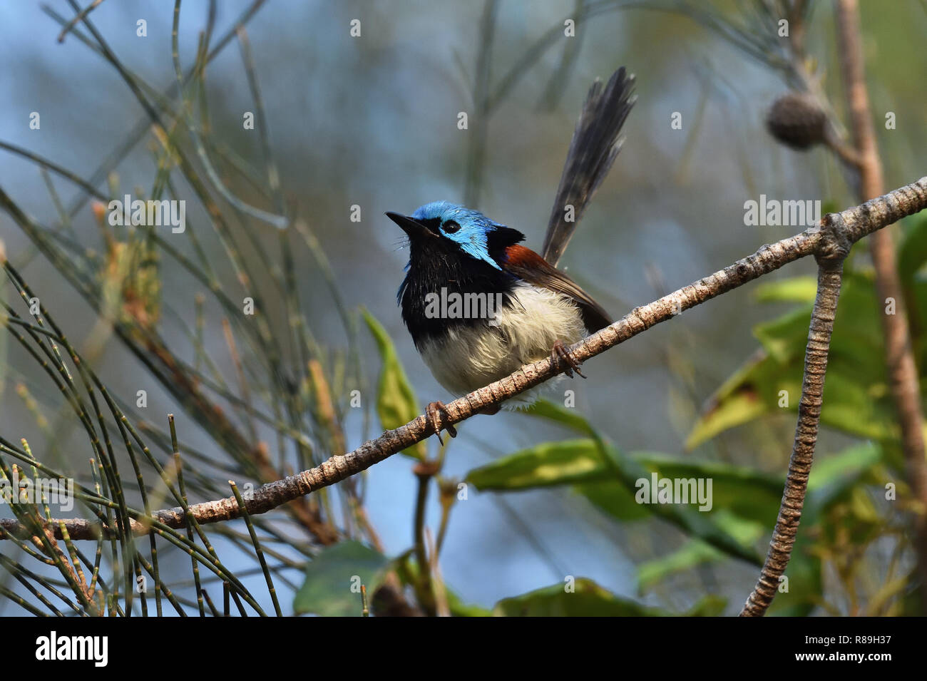 A slightly wet Australian, Queensland Male Variegated Fairy-wren ( Malurus lamberti ) perched on a tree branch - Stock Image
