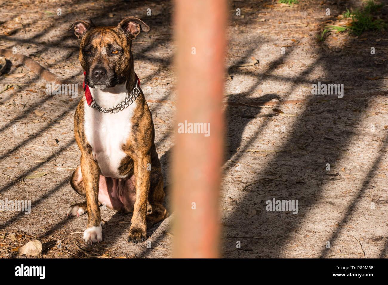 Staffordshire terrier cross - Stock Image