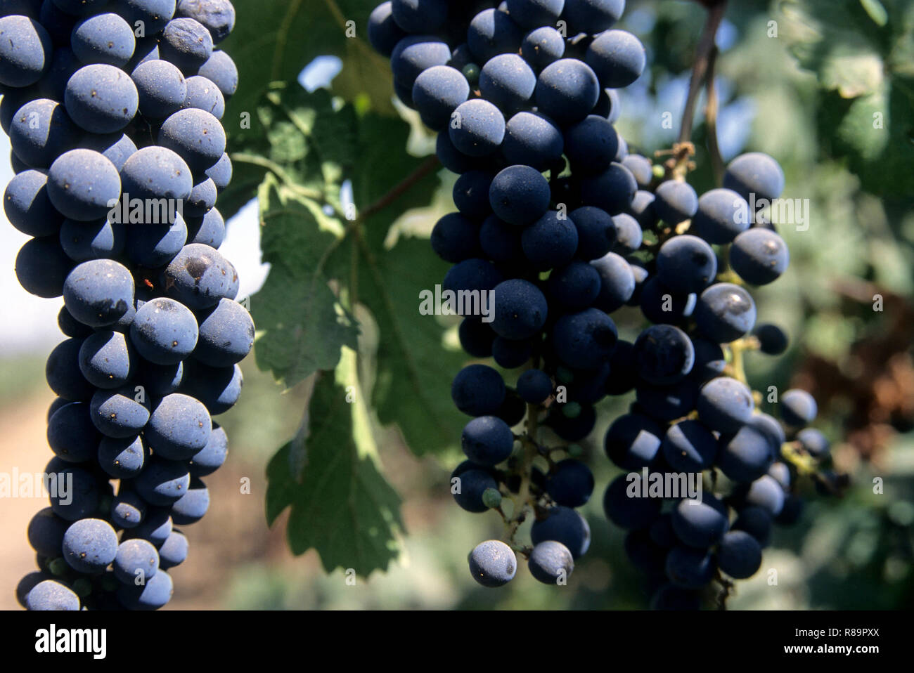 Fruits, Concord grapes hanging on vines in vineyard, narayangaon, maharashtra, india - Stock Image
