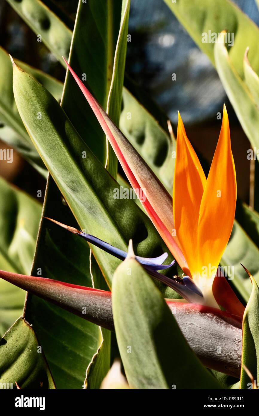 Fantastic bird of paradise flower -strelitzia reginae -the horizontal inflorescence  with orange sepals and blue-white petals Stock Photo