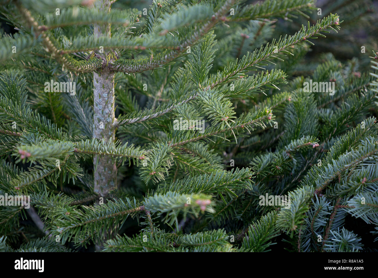 Foliage of Abies nordmanniana - Stock Image