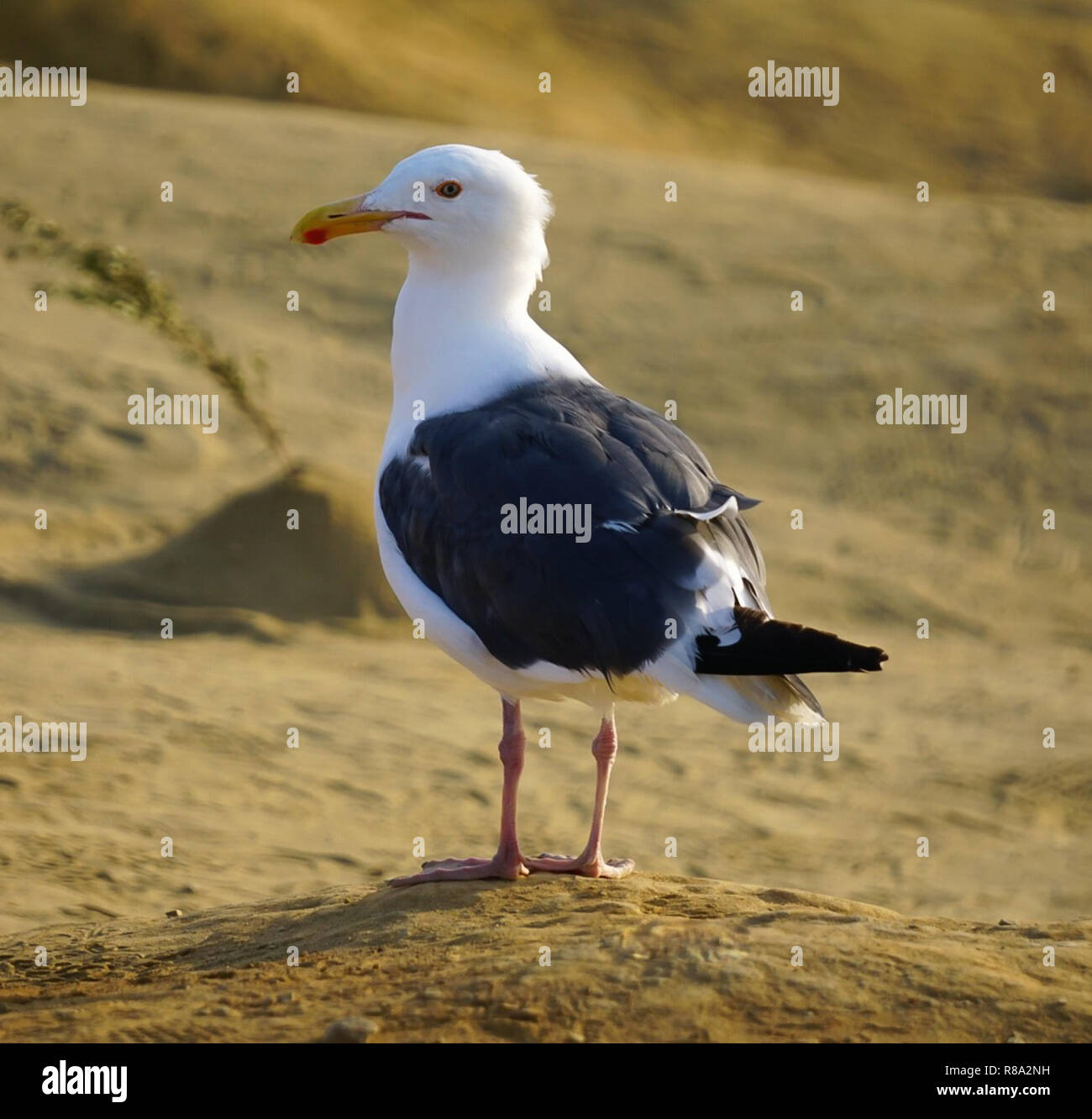 A white and black seagull standing on the sand Stock Photo