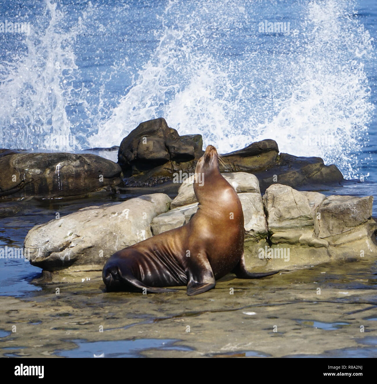 A Sea Lion on the rocks with the waves of the ocean splashing on the California Coast Stock Photo