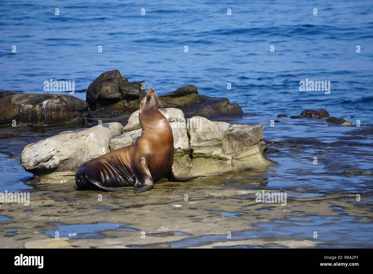 A Sea Lion sitting on the rocks at the edge of the Pacific Ocean on the California Coast Stock Photo