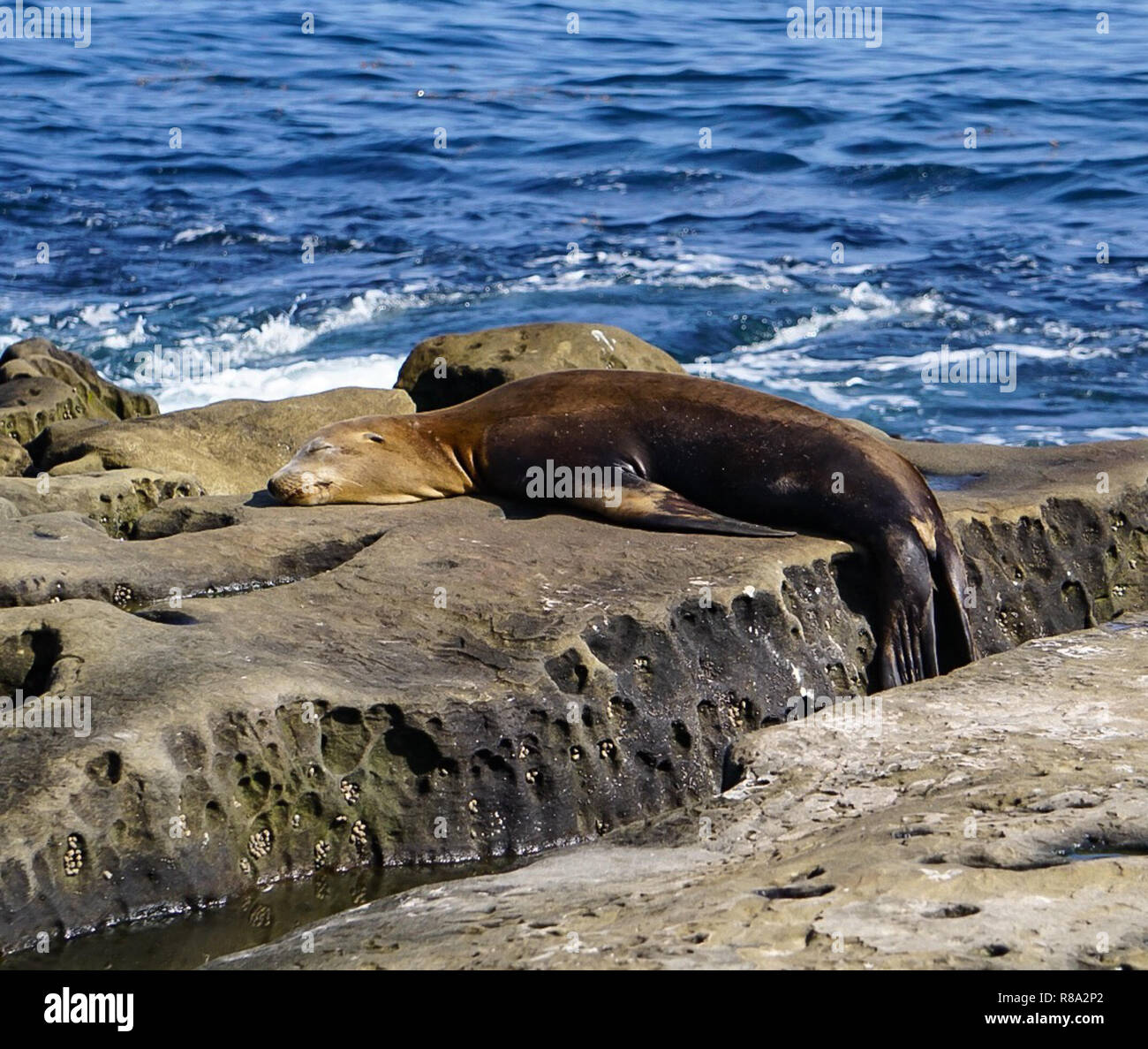 A Brown Sea Lion playing on the rocks at the ocean of the beach on the California Coast Stock Photo