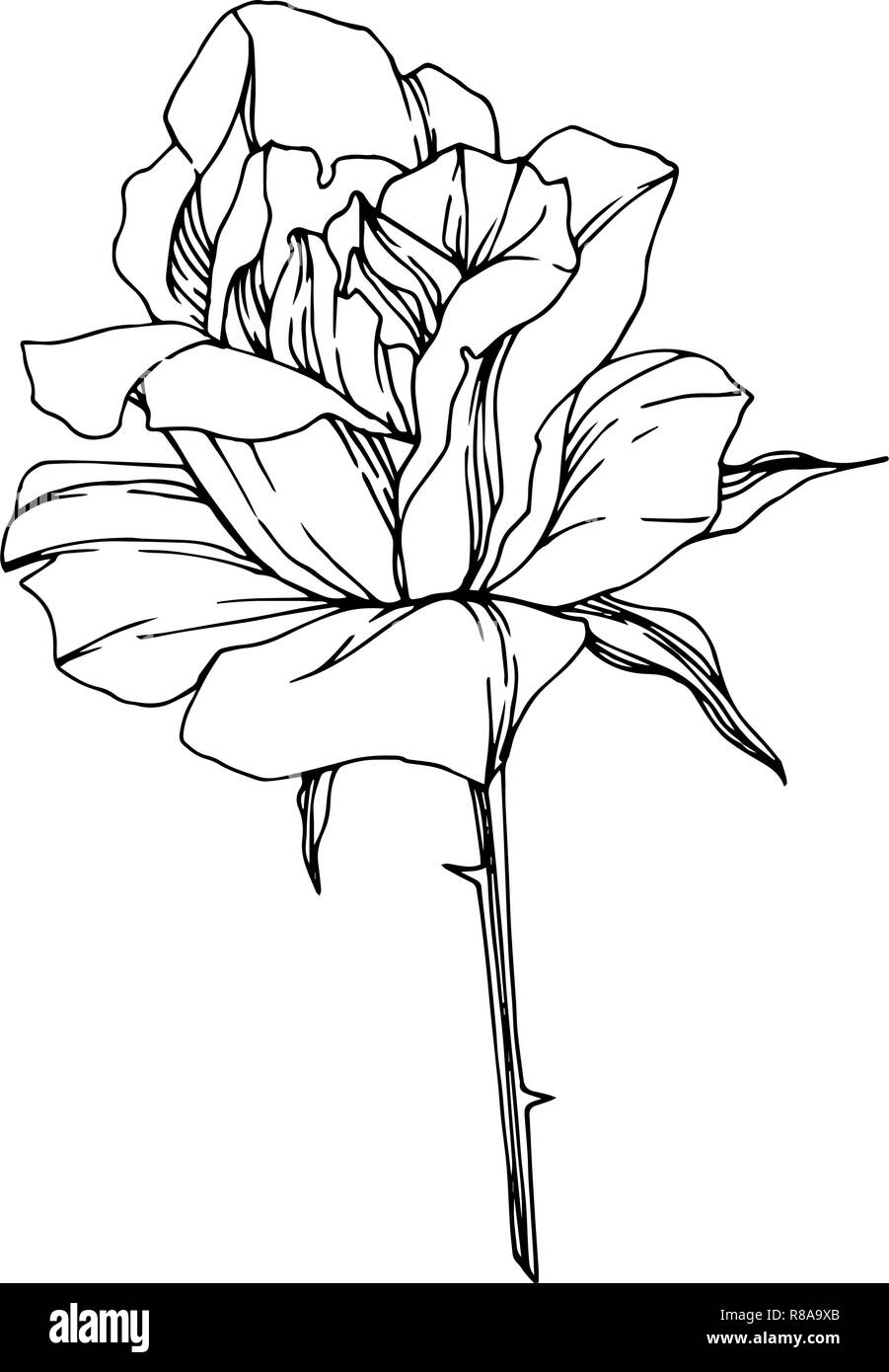 Vector Rose Floral Botanical Flower Black And White Engraved Ink