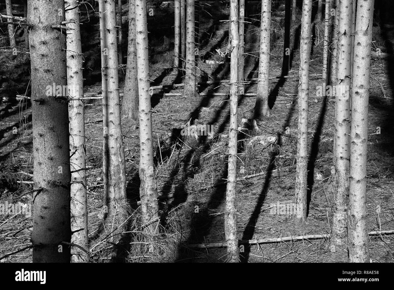 Coniferous forest near Bad Karlshafen, Upper Weser Valley,  Weser Uplands, Weserbergland, Hesse, Germany, Europe - Stock Image