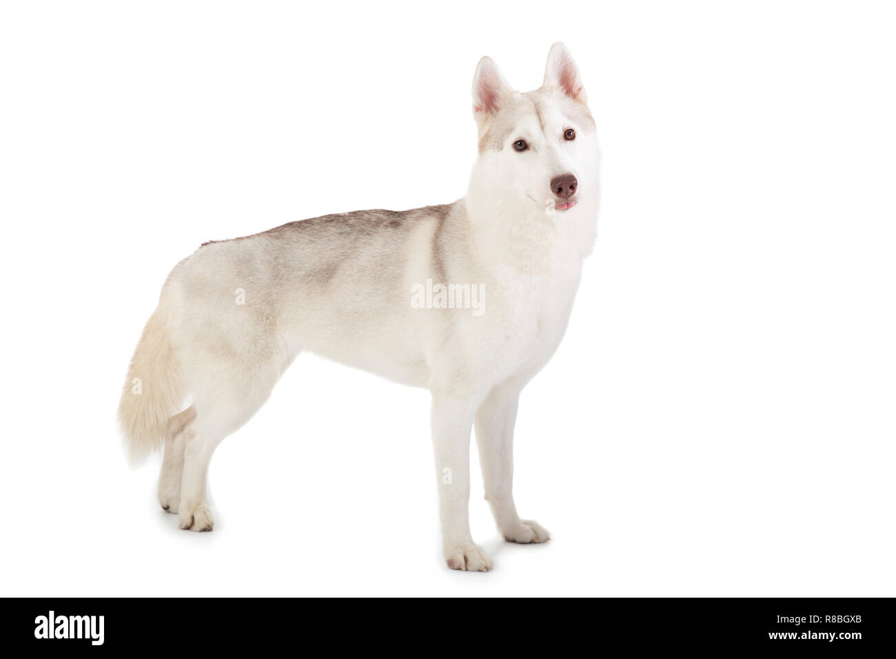 portrait of gorgeous siberian husky looking at camera - Stock Image