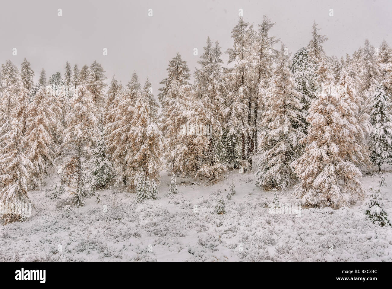 Beautiful winter forest with snowdrifts, snow, green spruces and golden larches during a snowfall in autumn - Stock Image