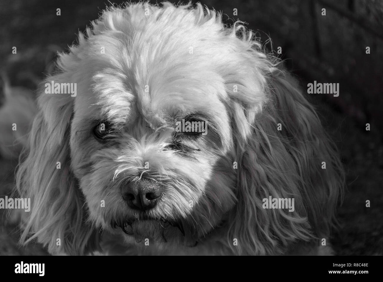 Black and white portrait of a cute but moody looking male Cavachon dog (Canis lupus familiaris). - Stock Image
