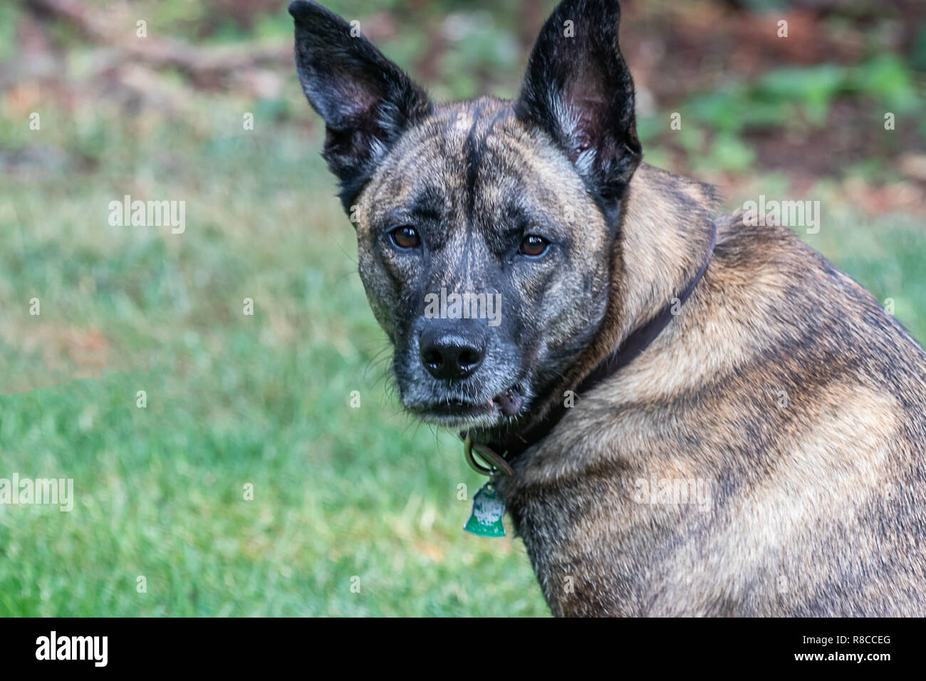 large mixed breed brindle dog resting in green - Stock Image