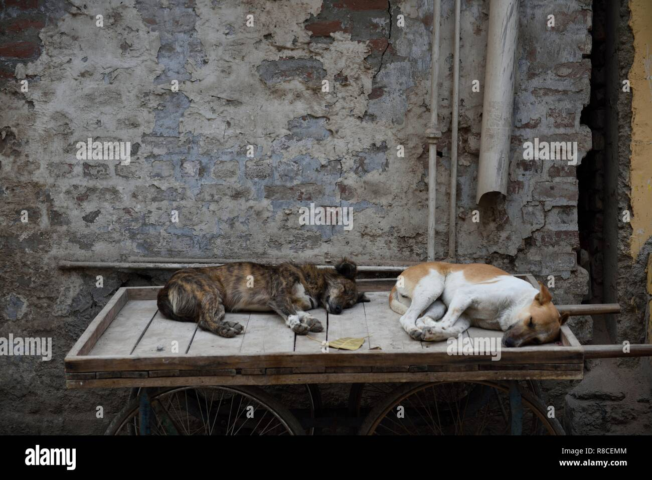 Two dogs sleeping on a wooden push cart in New Delhi, India. Stock Photo