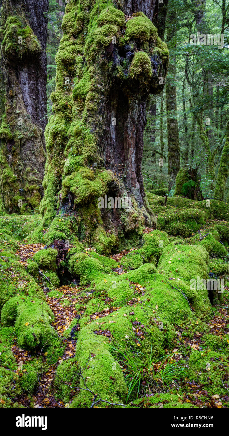 Tree trunks covered in moss to a great height in constantly wet temperate rain forest of New Zealand South Island's Fjordland - Stock Image