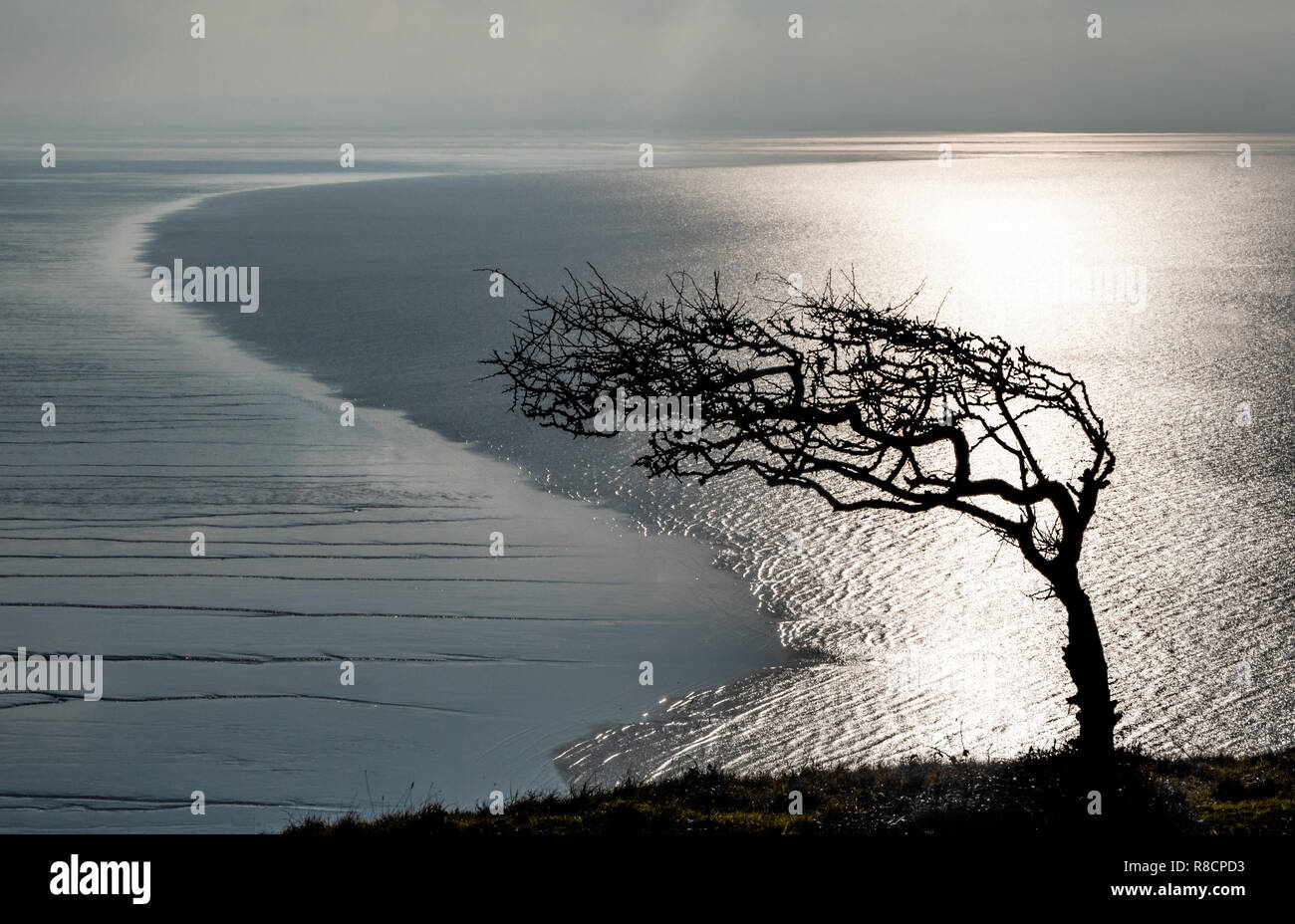 Crooked hawthorn shaped by prevailing westerly winds and low tide line at Brean Down peninsular on the Somerset coast - Stock Image
