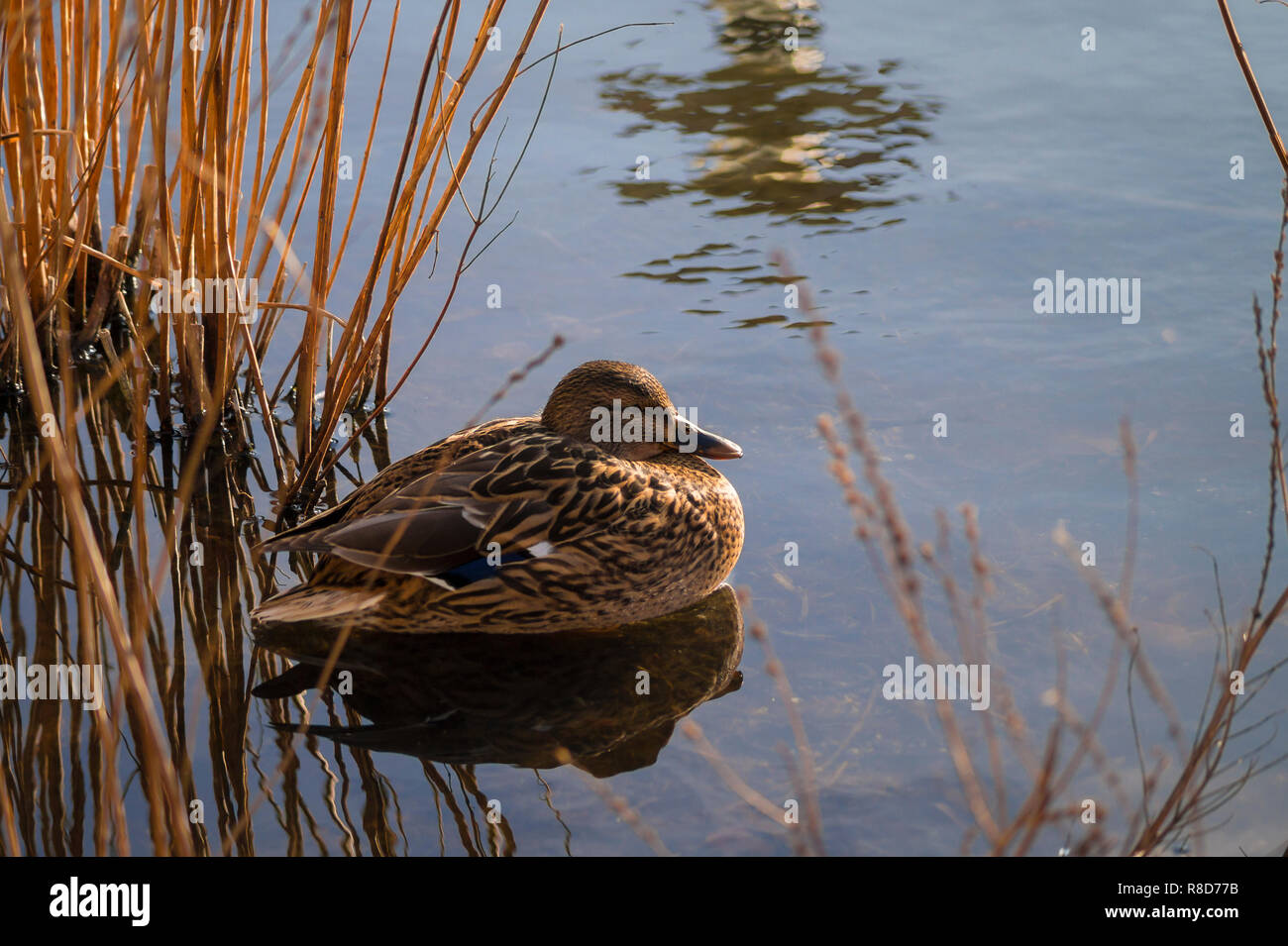 Close Up Of A Resting Female Mallard Duck Anas