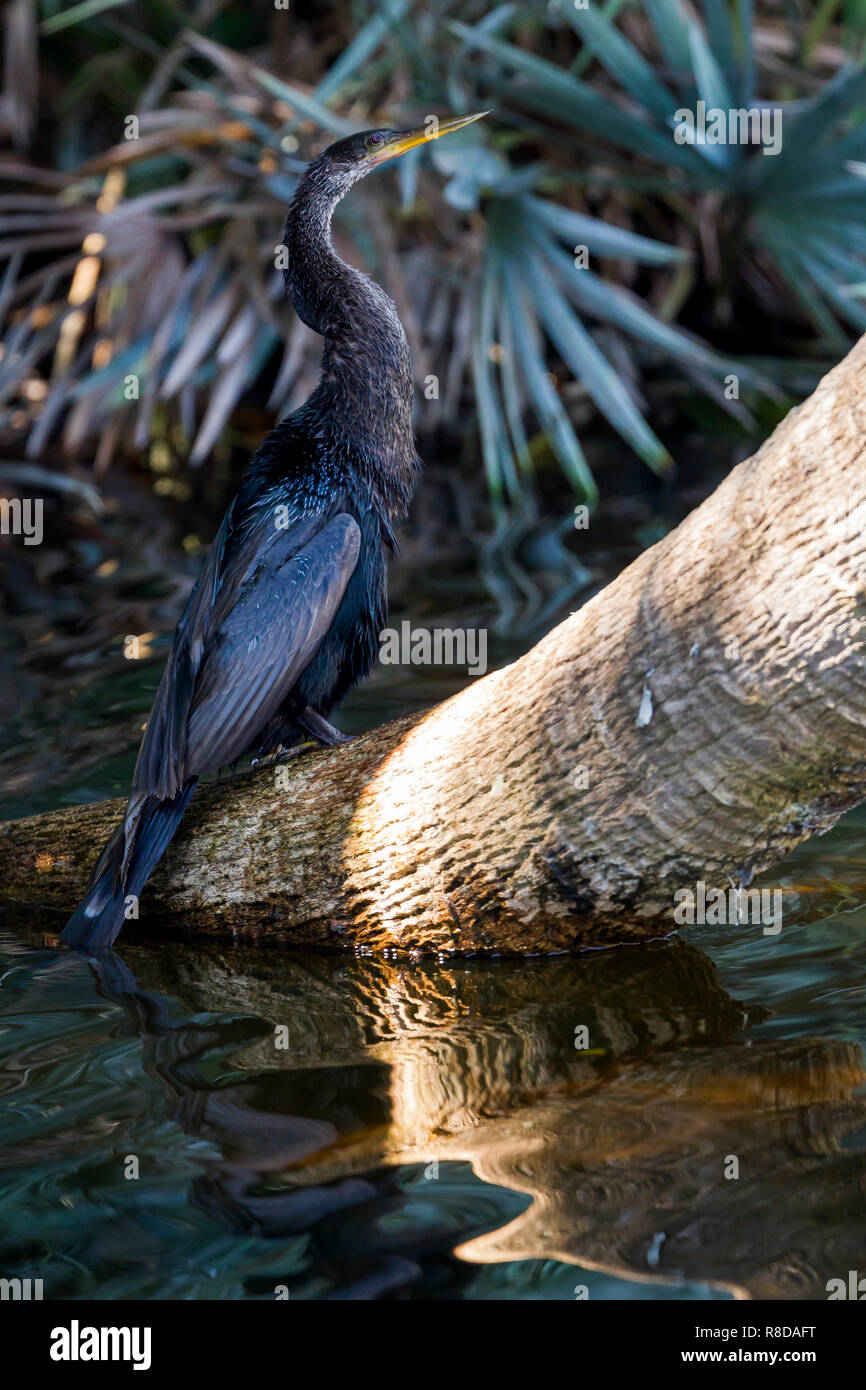 A single Snakebird or Anhinga sitting in the shade at the water's edge, Everglades, Florida, United States of America - Stock Image