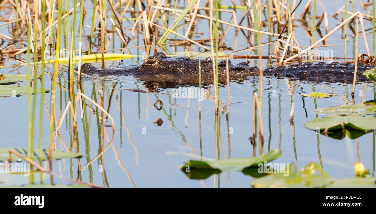 A young adult Alligator amongst weed, Florida Everglades, southern USA, United States of America - Stock Image
