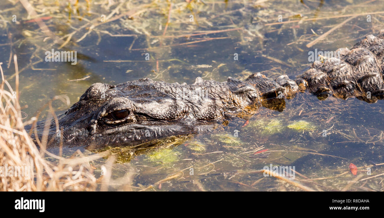 Close view of the head of a young adult Alligator amongst weed, Florida Everglades, southern USA, United States of America - Stock Image