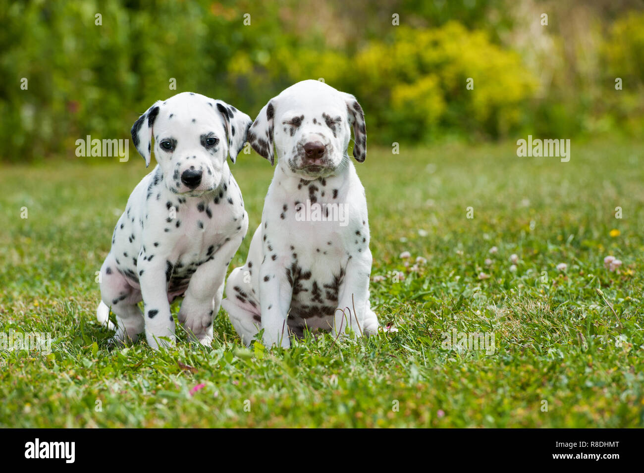Dalmatian puppies playing on a meadow - Stock Image