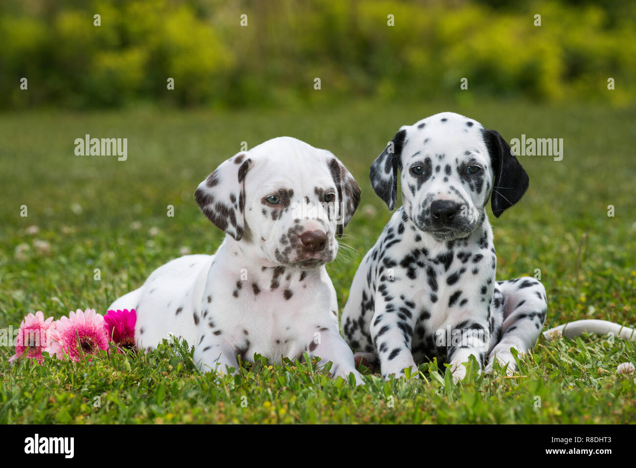 Dalmatian puppies lying on a meadow - Stock Image