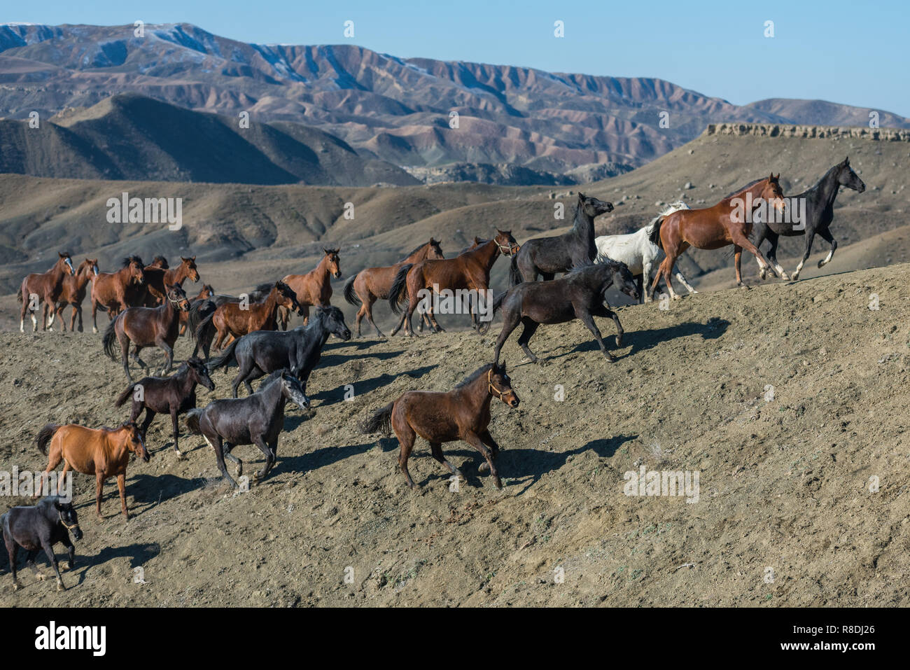 A group of genuine Turkmen horses at Raz and Jargalan region. Iran, Northern Khorasan Province. - Stock Image