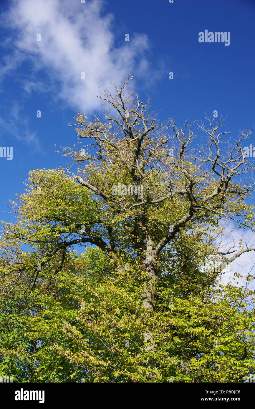 Mighty Oak Tree in Early Autumn, Changing Foliage Colour. Aberdeen, Scotland, UK. - Stock Image