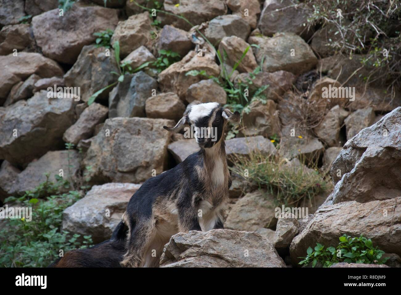A small black, brown and cream goat stands on a rocky path, pauses and looks towards the camera - Stock Image