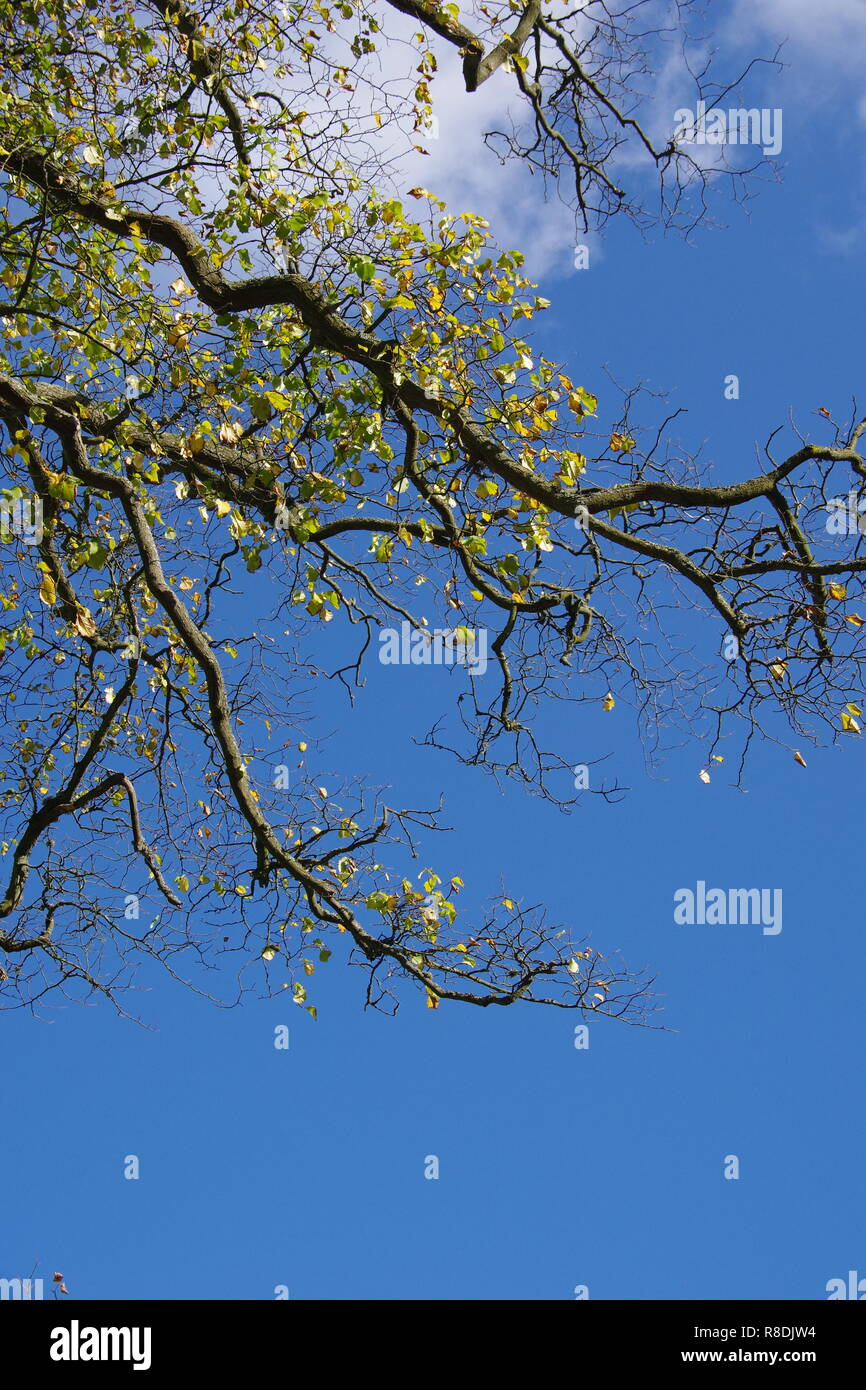 Overhanging Branches with Golden Autumn Leaves against a Blue Sky, Natural Background. Old Aberdeen, Scotland, UK. - Stock Image