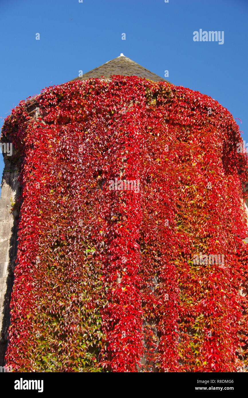 New Kings Lecture Building Windows Festooned in Red Autumn Ivy. University of Aberdeen, Scotland, UK. - Stock Image