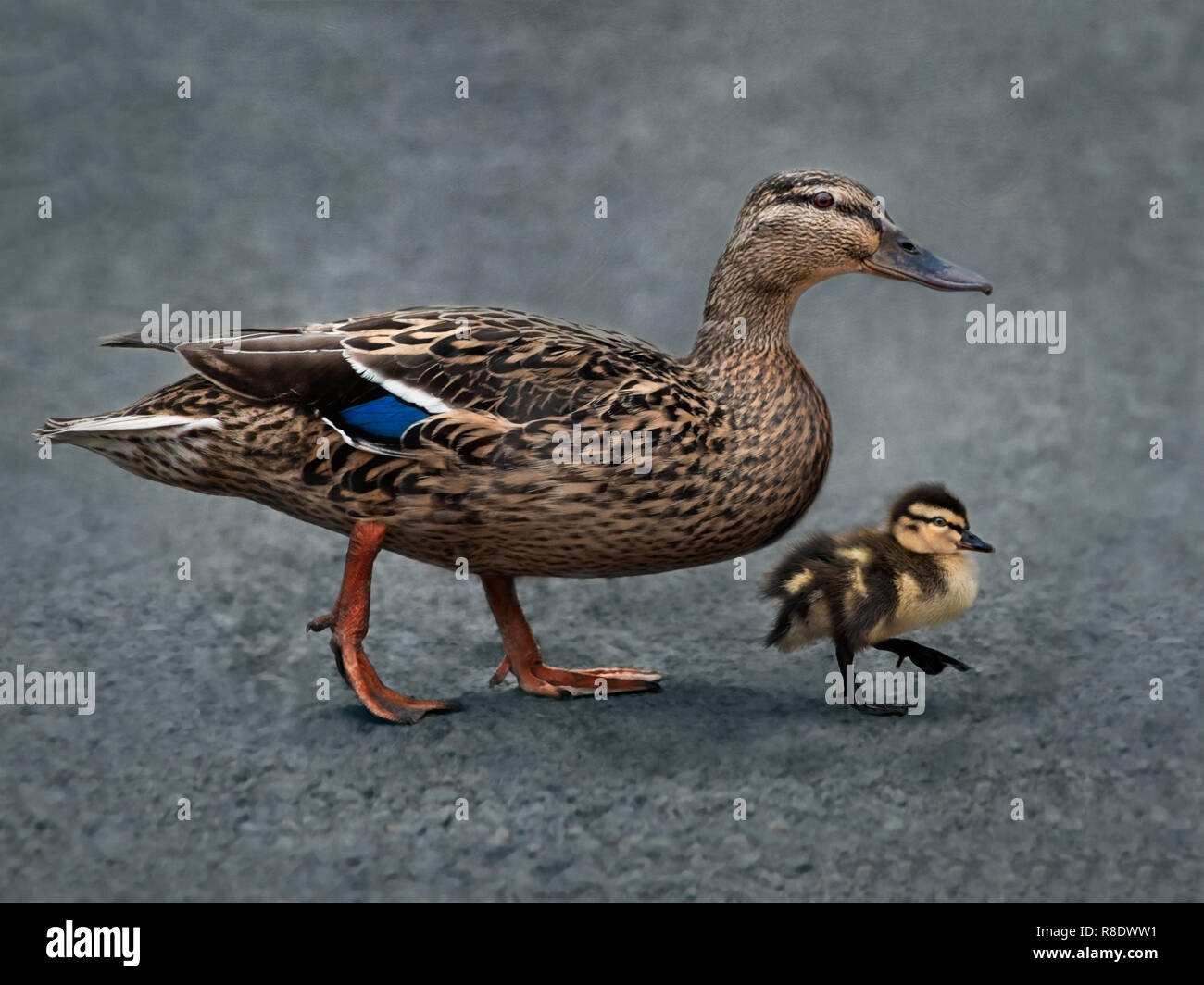 A Mallard duck and her duckling walking in sync - Stock Image
