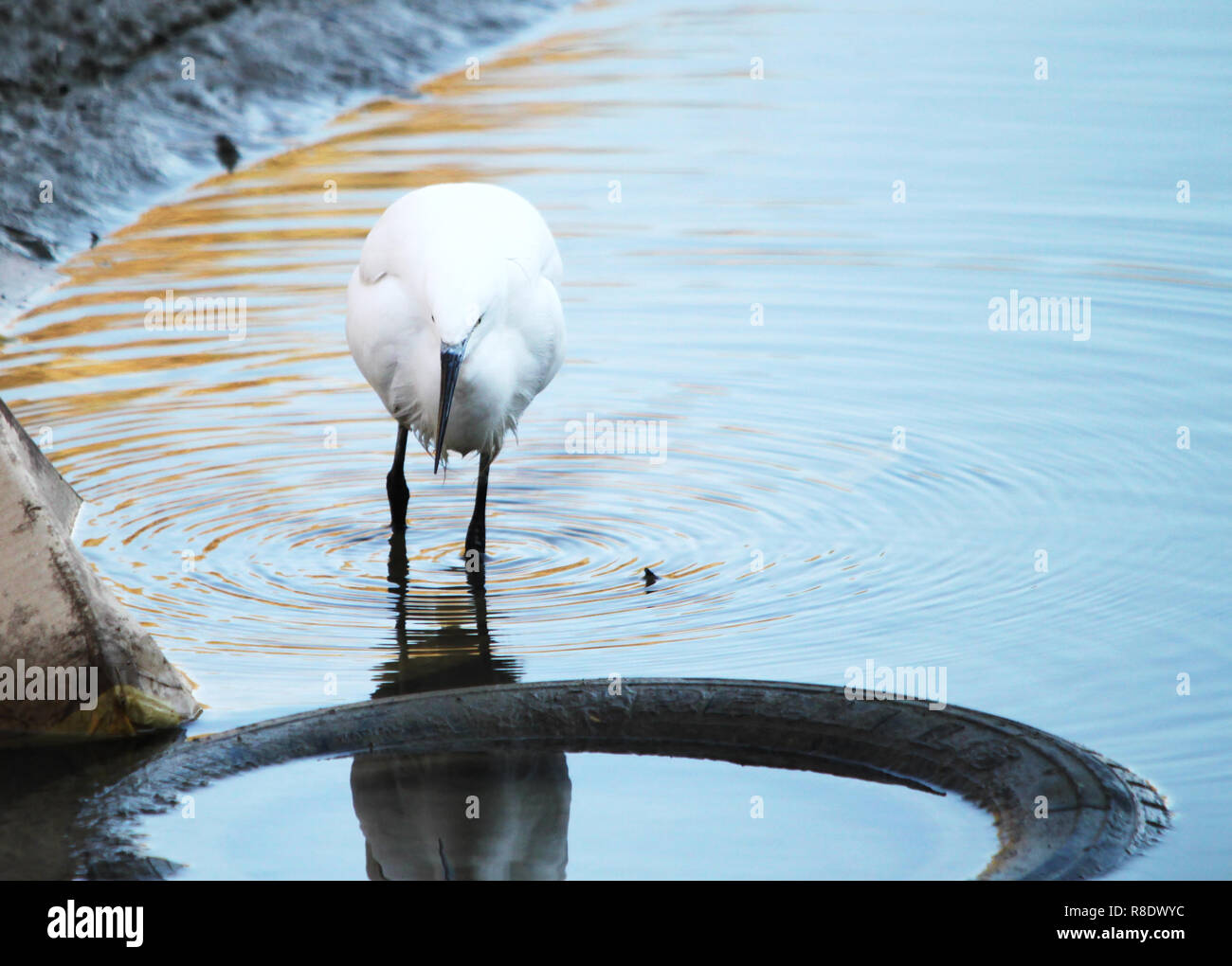 A heron (Egretta garzetta) looking for food among old tires abandoned in the river. Pollution and environment concept. - Stock Image