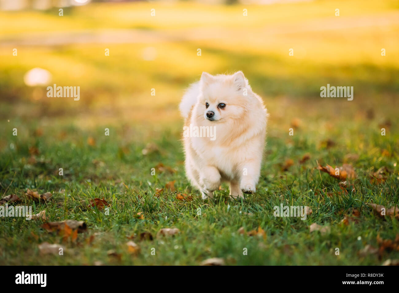 Adult White Pomeranian Spitz Dog Walking Outdoor In Autumn Grass