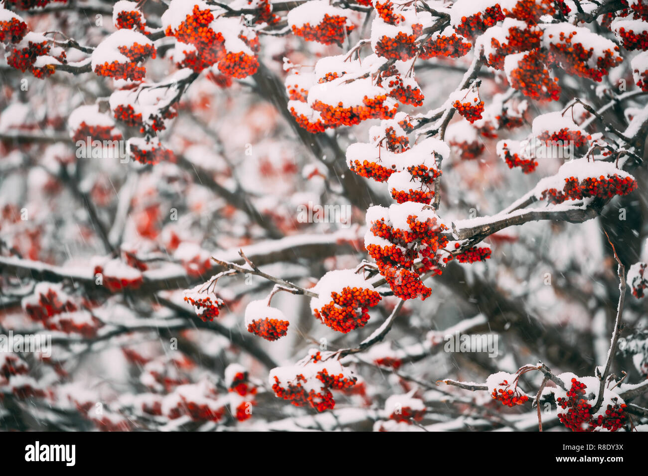 Rowans Red Berries Covered Winter Snow. The Rowans Or Mountain-ashes Are Shrubs Or Trees In The Genus Sorbus Of The Rose Family, Rosaceae Stock Photo