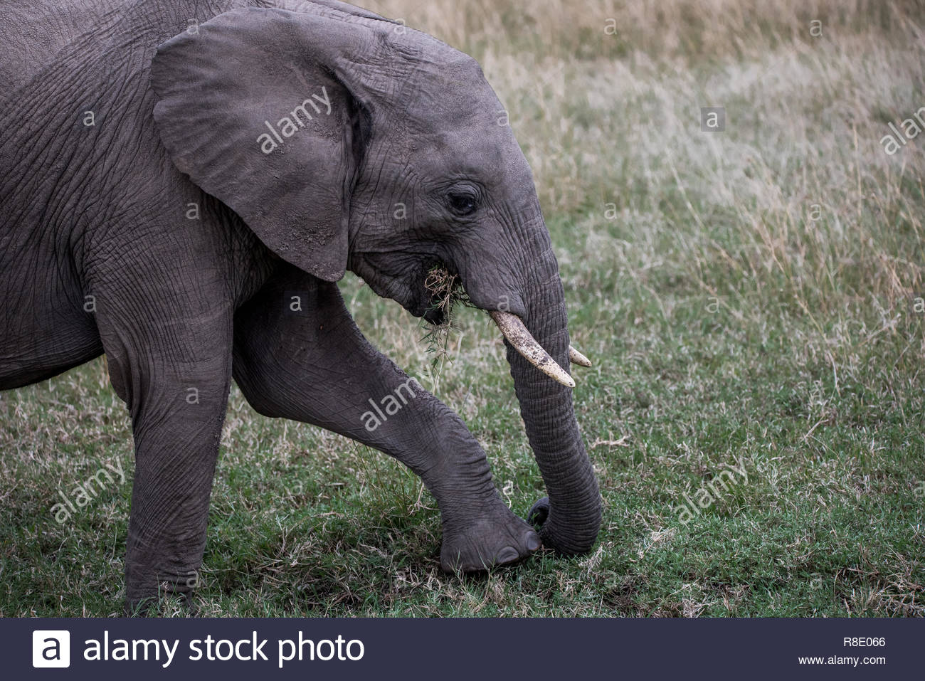 An elephant feeding using its foot to uproot grass - Stock Image