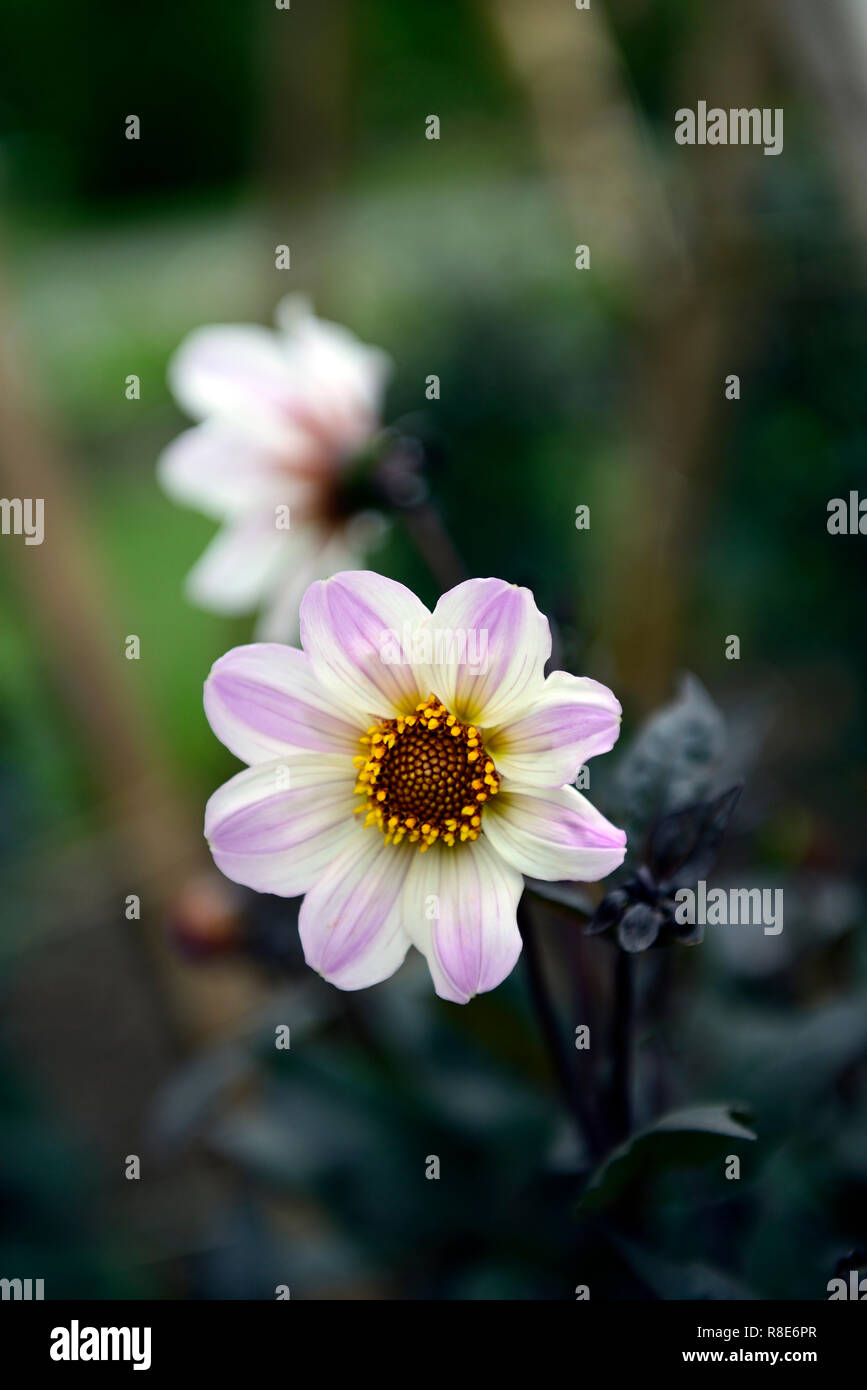 dahlia bishop of dover,dahlias,white and lilac flower,flowers,flowering,dark foliage,RM Floral - Stock Image