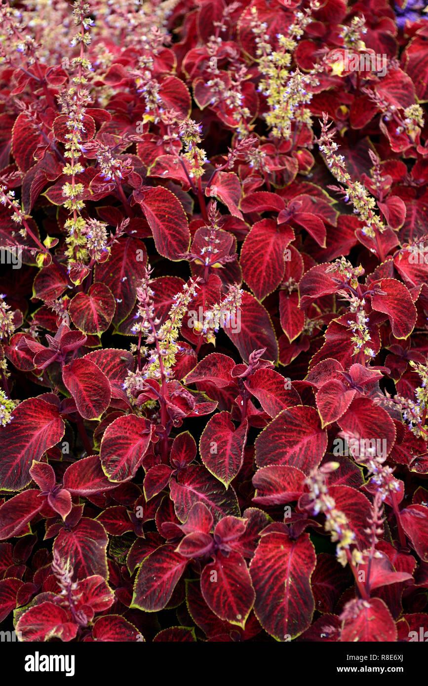 Solenostemon scutellarioides, Coleus wizard,Velvet red Coleus,tender,annual,bedding plant,garden,gardens,RM Floral Stock Photo