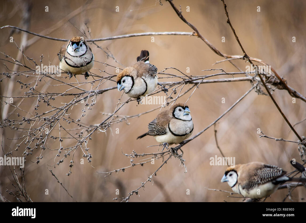 Group of Double-barred Finches feeding on wild grasses in the Australian bush - Stock Image