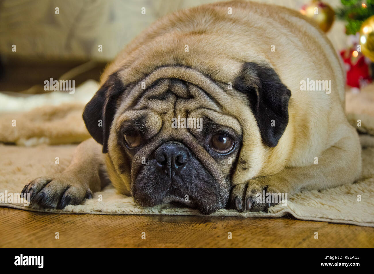 sluggish, lazy, dull dog at new year holidays. pet is sad beige, fawn pug. thick, fat room dog lay near christmas tree. background is traditional holiday home. - Stock Image