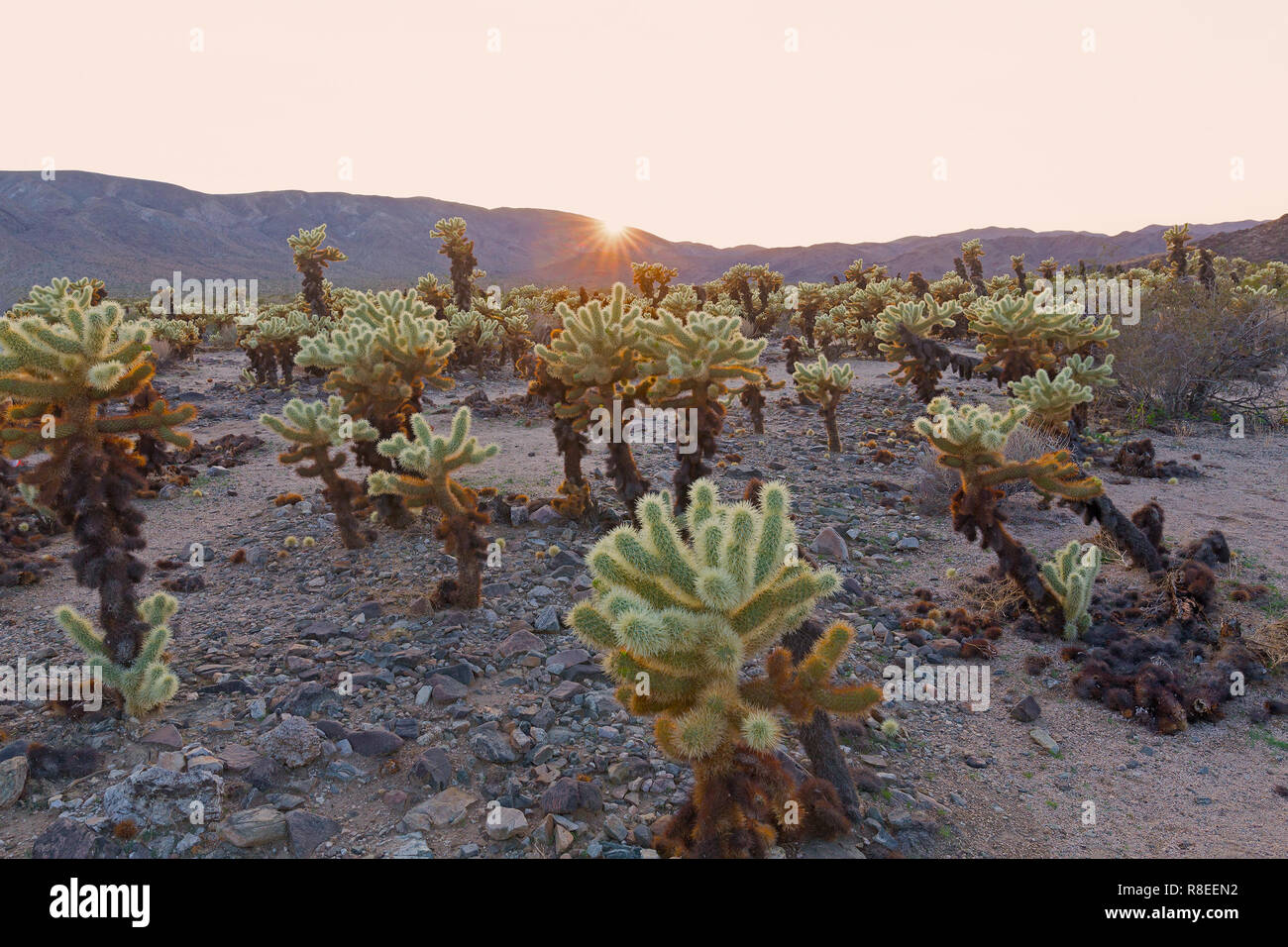 Teddy-bear cholla shrub at sunset in Joshua Tree National Park, California USA. Cholla Cactus Garden surrounded by mountains chain. - Stock Image