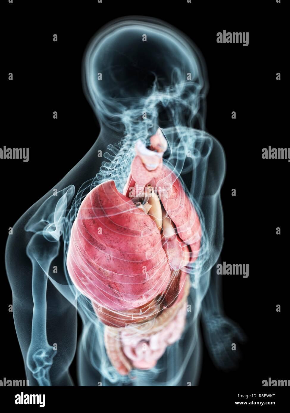Man Anatomy Internal Organs Stock Photos Man Anatomy Internal