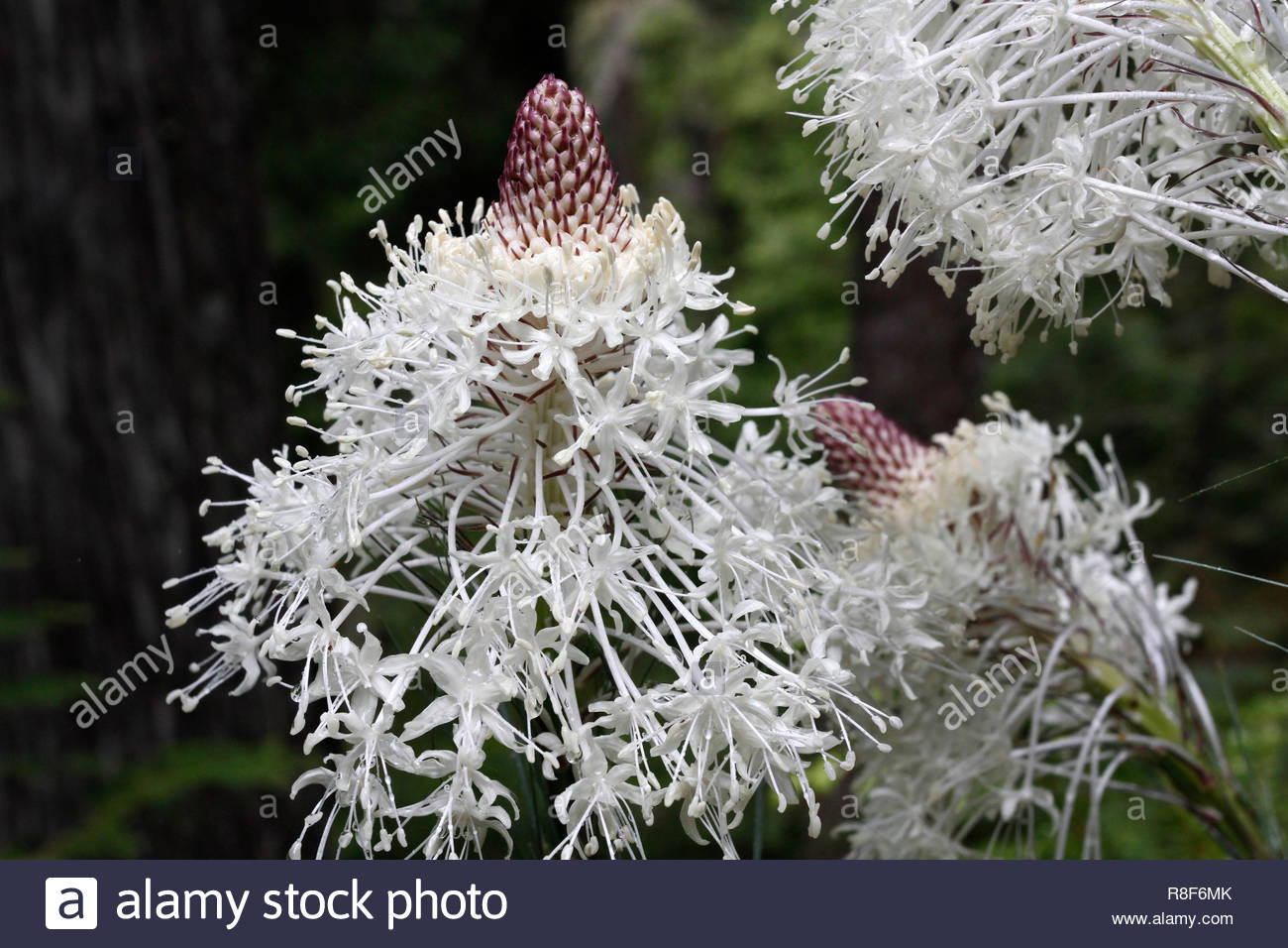 Beargrass (Xerophyllum tenax), Lookout Creek Trail, HJ Andrews Forest, Willamette National Forest, Oregon, USA Stock Photo