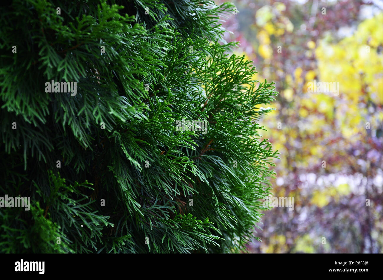 The branches of green spruce close-up at the yellow blurred background Stock Photo