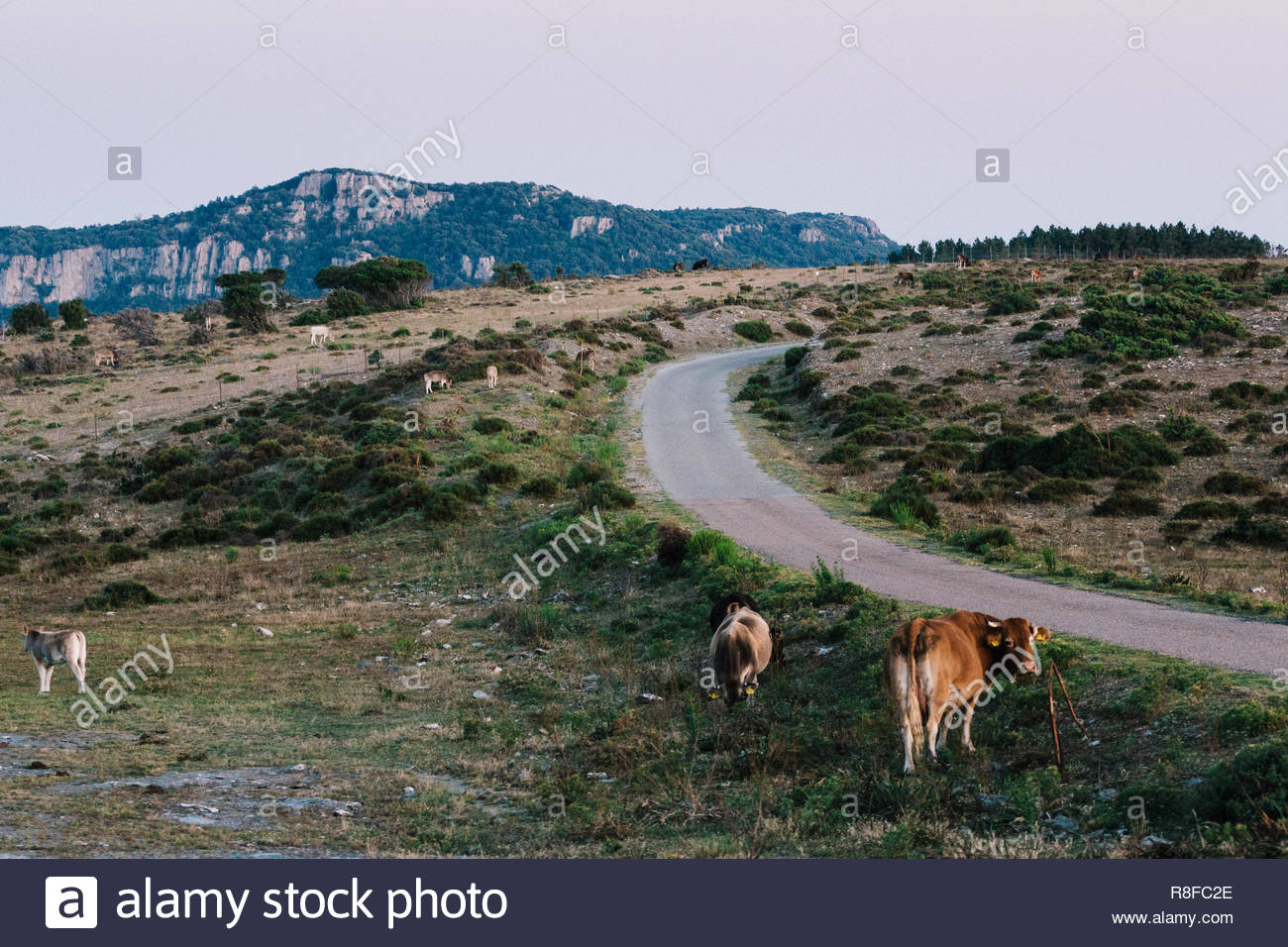 Cows eating along the road in the Italian mountains of Sardinia. Stock Photo